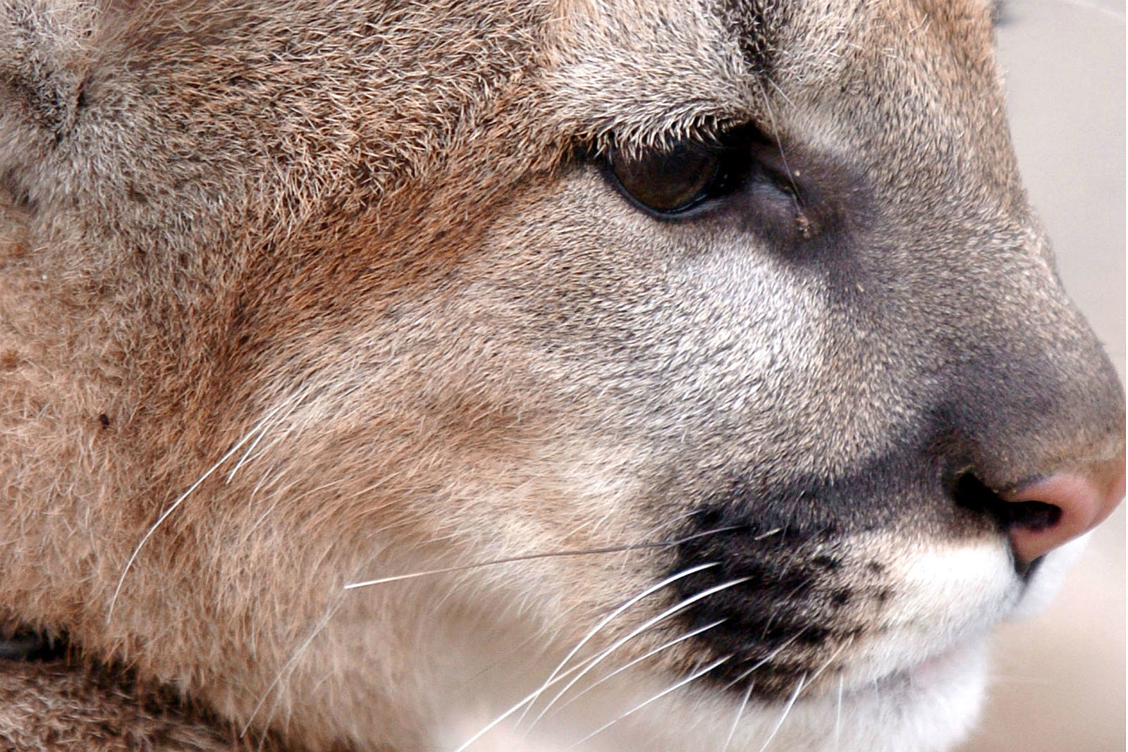 Mountain Lion_Mike Simons/Getty